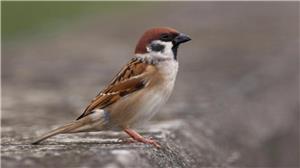 Mơ thấy chim sẻ đánh số mấy? Ý nghĩa giấc mơ chim sẻ